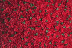 Flower-Wall-Red-Rose